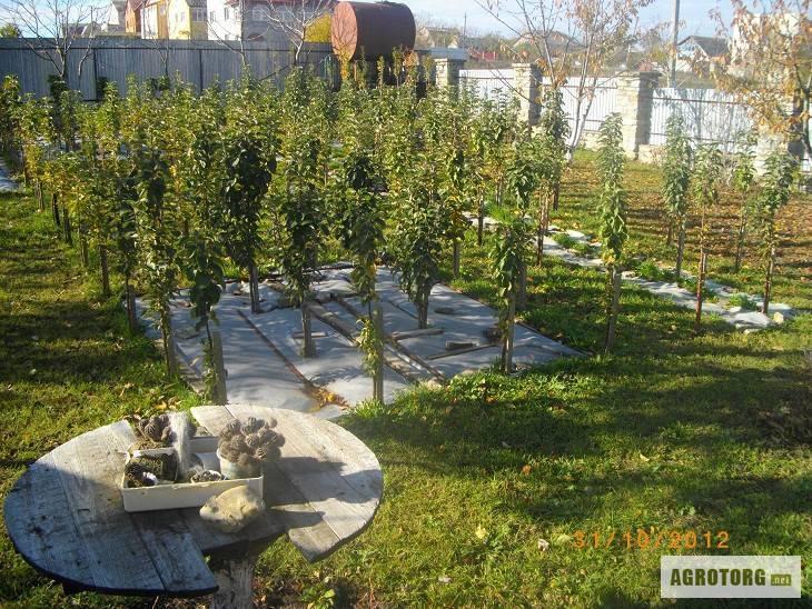 Сорта колоновидных яблонь для россии – обзоры с фото, посадка и уход, когда начинают плодоносить