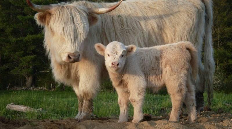 Популярные породы коров: их отличительные характеристики, качество молока и мяса