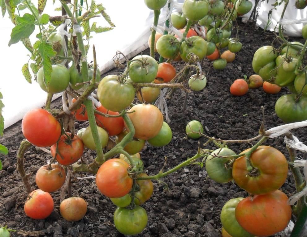 Томат большой зак: описание сорта, отзывы, фото, урожайность | tomatland.ru
