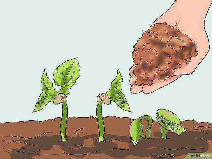 Выращивание бобов в открытом грунте