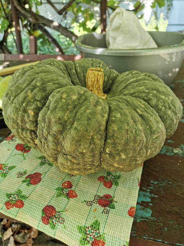 Тыква «баттернат»: выращивание и уход в открытом грунте