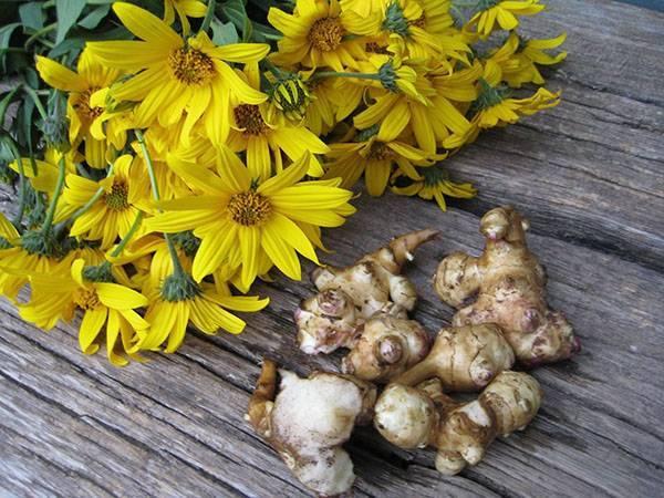 Топинамбур: посадка, выращивание и размножение в открытом грунте