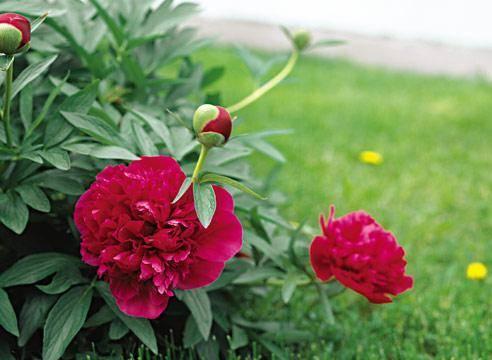Неповторимые сорта пиона молочноцветкового – никто не останется равнодушным!