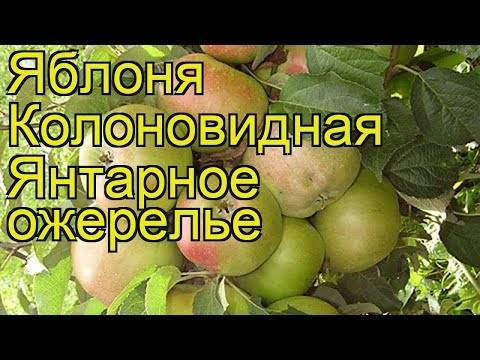 Сортовая колоновидная яблоня — московское ожерелье
