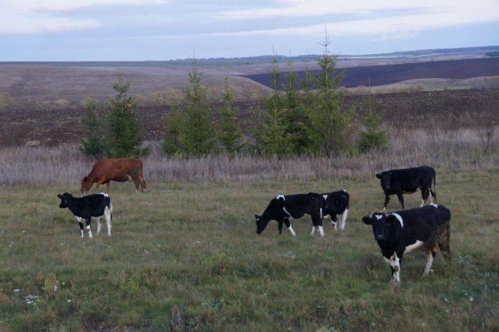 Чем опасен лейкоз у коровы