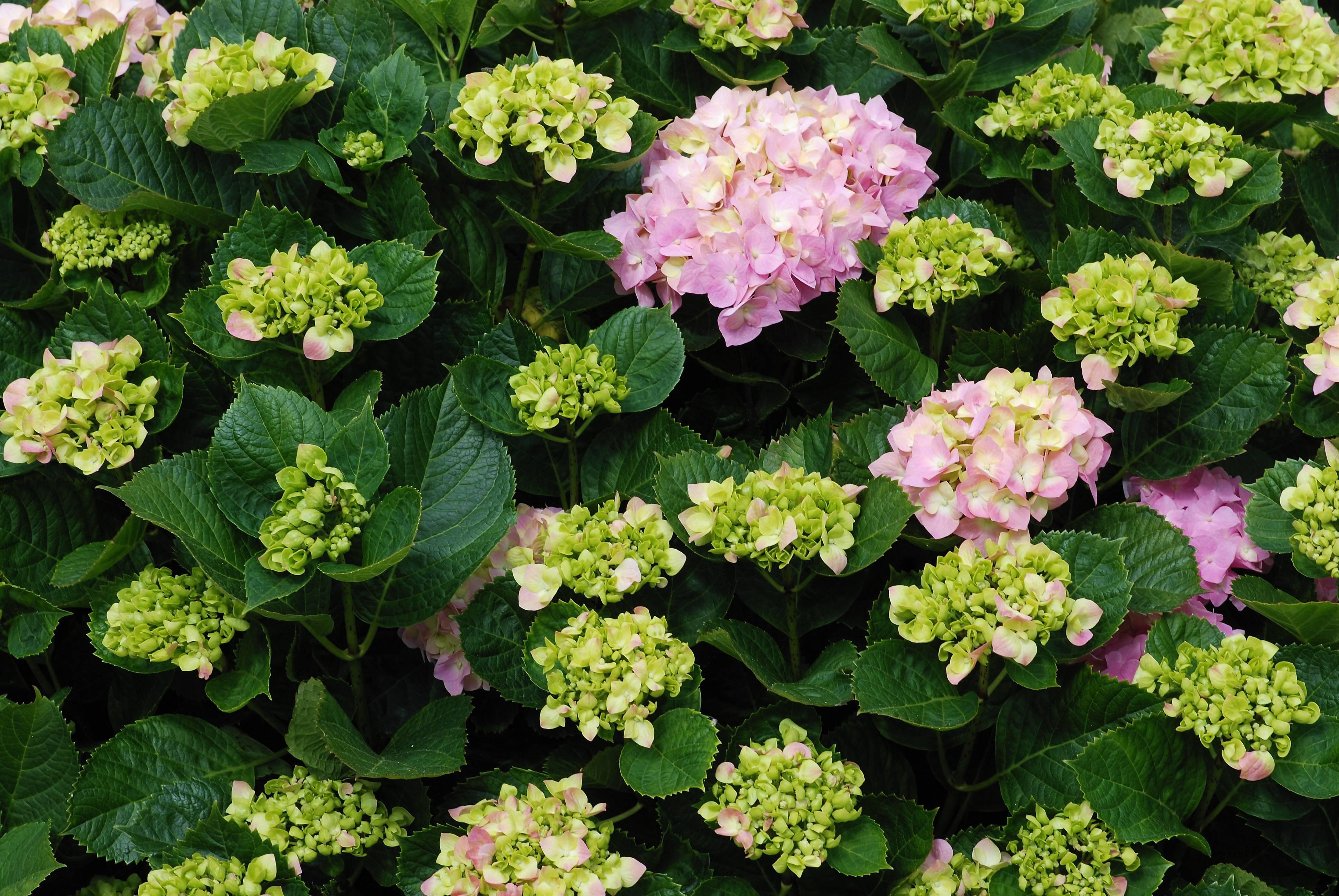 Уход и размножение гортензии в домашних условиях и в саду. содержание цветка в горшке в разное время года