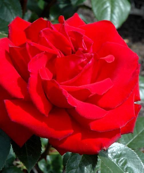О розе moody blues: описание и характеристики сорта чайно гибридной розы