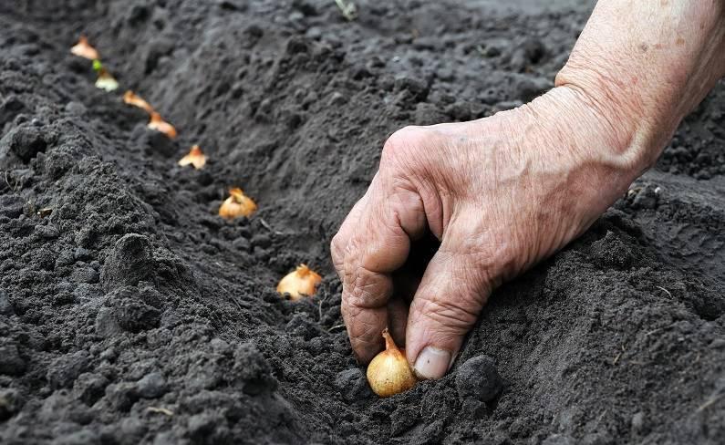 Лук на зелень из семян: выращивание - подробная инструкция!