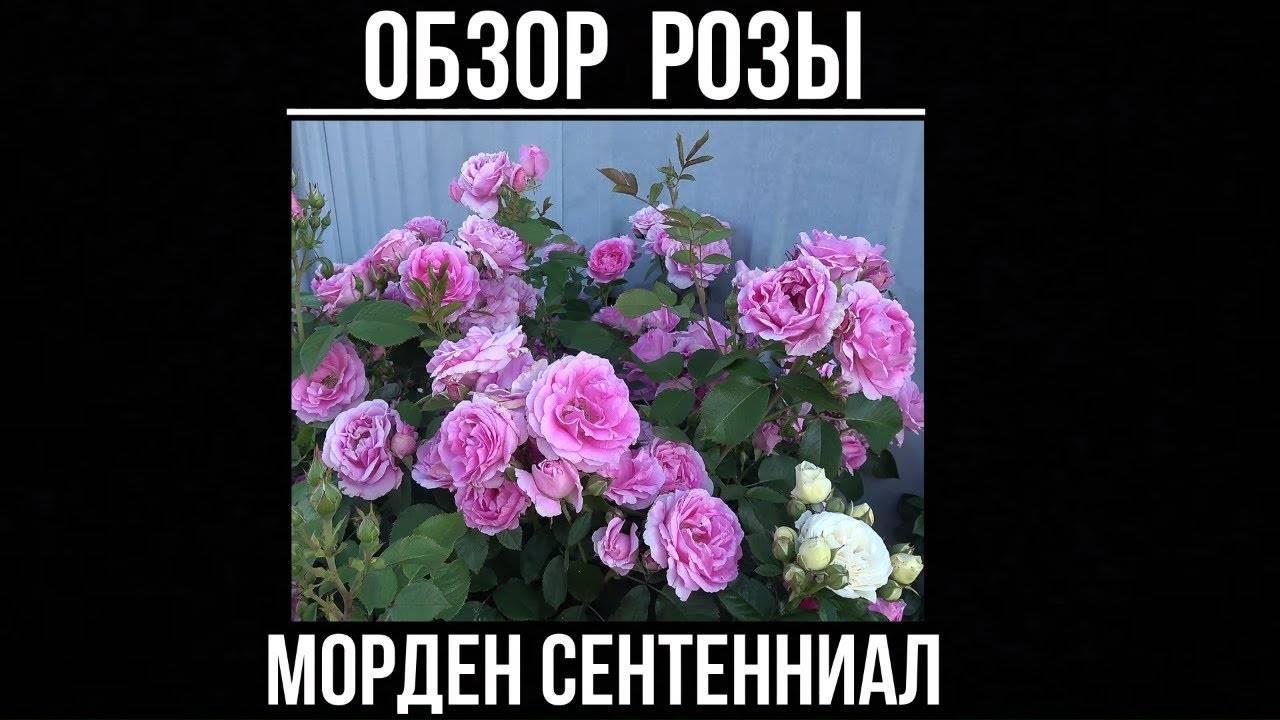 Какие розы самые устойчивые к морозу и холоду: канадская селекция | о розе