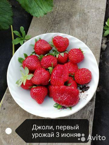Клубника гигантелла: особенности посадки, выращивания, характеристики сорта и правила ухода (75 фото + видео)