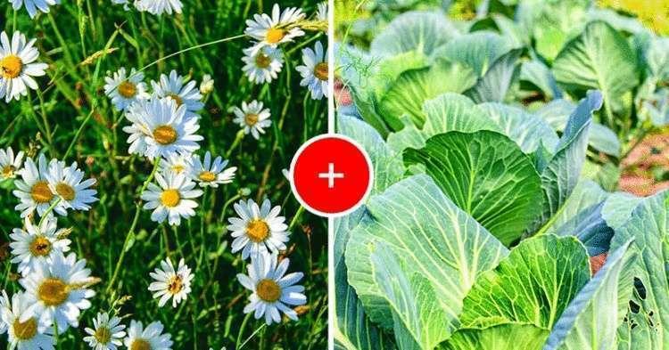Что посадить рядом с капустой