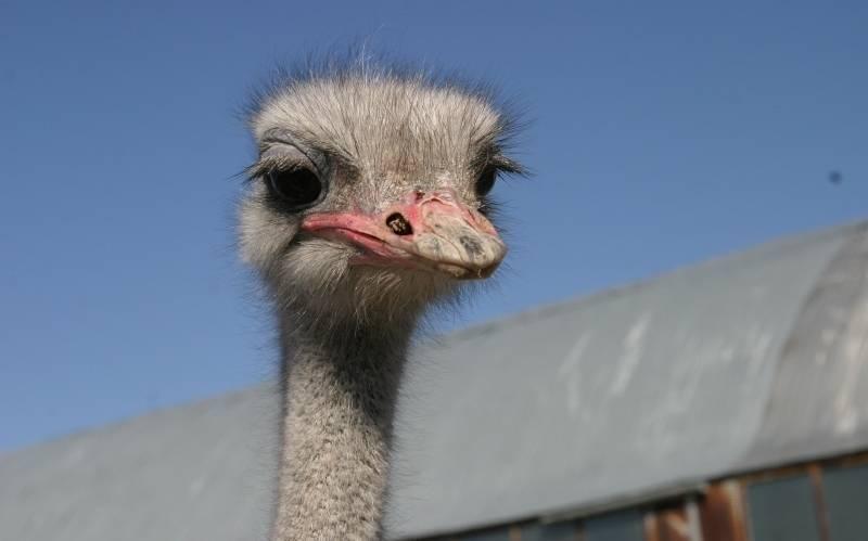 Почему и зачем страусы прячут свою голову в песок?