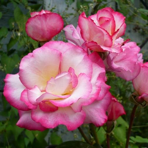 Роза хендель — внешние особенности, размножение, уход