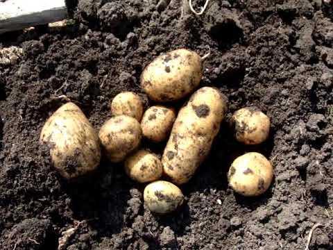 Картошка лаура описание