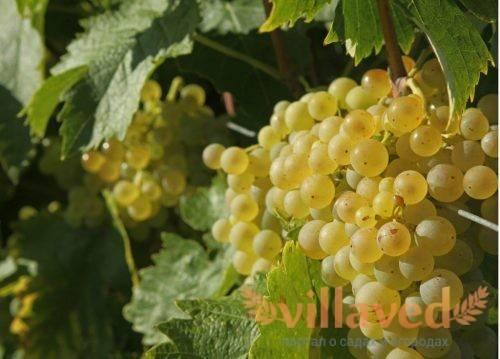 Виноград восторг белый — ягоды грибы