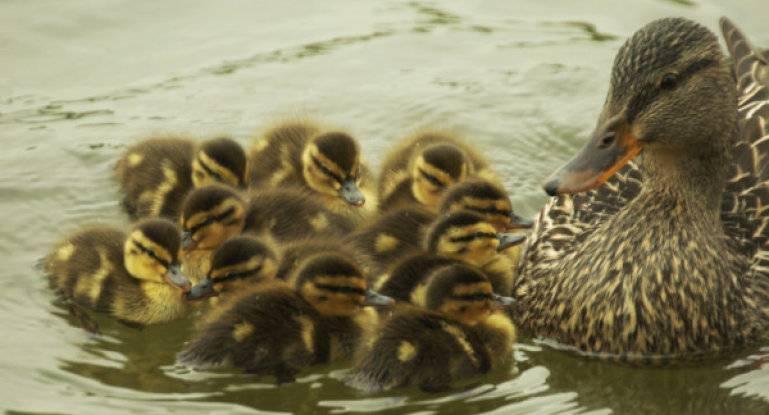 Как вырастить утят в домашних условиях и чем кормить? утки: кормление и уход.