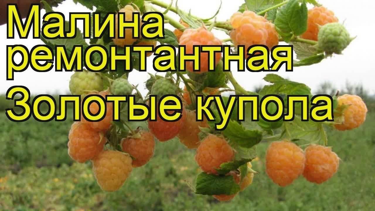 Жёлтая малина: особенности, вкусовые свойства, посадка и уход