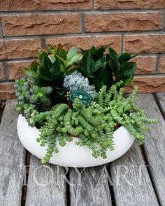 Цветок гинура — уход в домашних условиях, фото растения