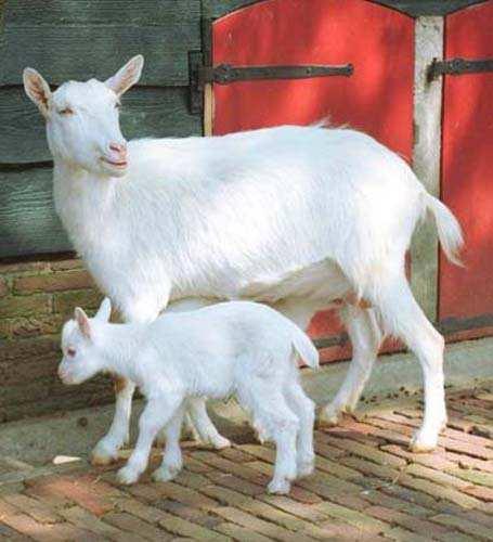 Домашние козы