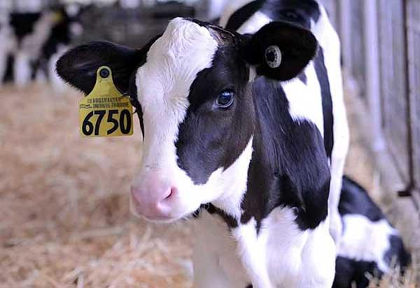 Характеристики холмогорской породы коров, рождаемость и качество молока