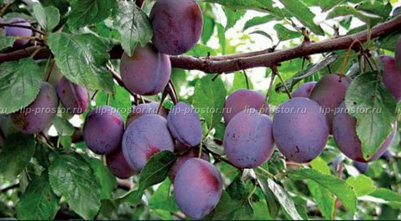 Слива болховчанка — урожайный сорт для центрально-чернозёмного региона