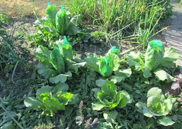 Пекинская капуста: выращивание и уход, фото урожая