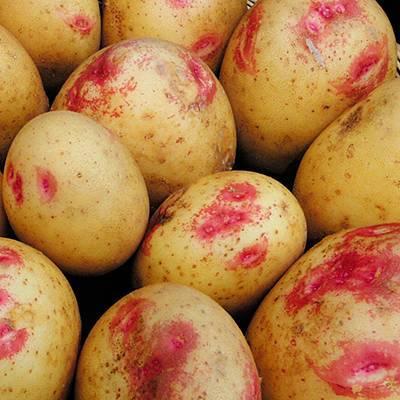 Как вырастить картофель пикассо на дачном участке? описание сорта