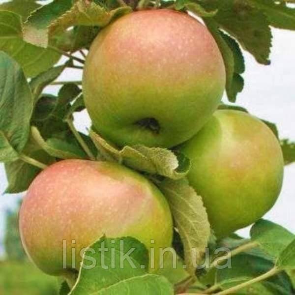 Лучшие сорта колоновидных яблонь: описание (фото), посадка и уход