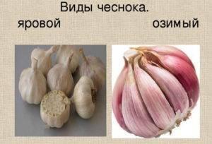 Лучшие сорта озимого чеснока