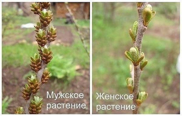 Как посадить облепиху весной?