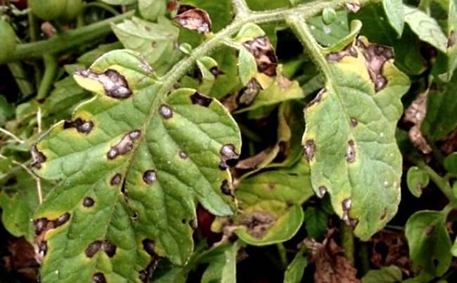Чем обработать картофель от болезней и вредителей