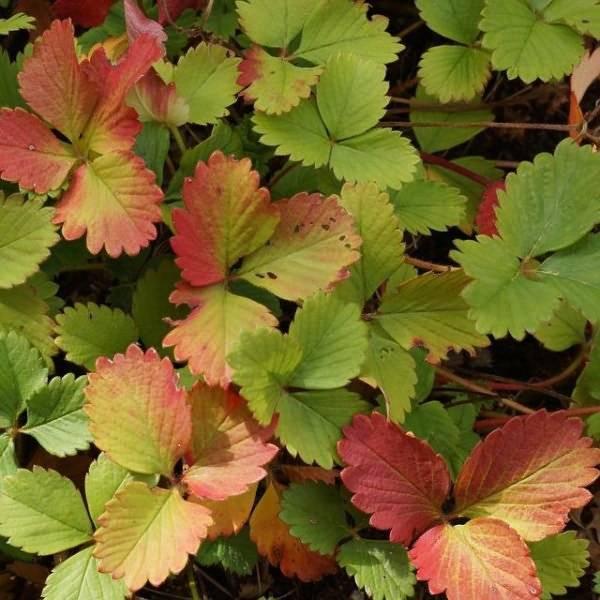 Почему у клубники краснеют листья?