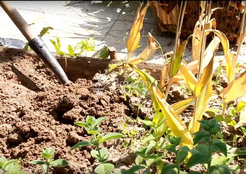 О выкапывании луковиц тюльпанов (нужно ли пересаживать, убирать каждый год)