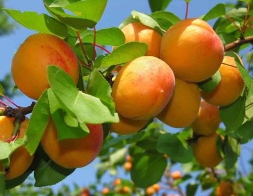 Важные правила посадки и дальнейшего ухода за абрикосом