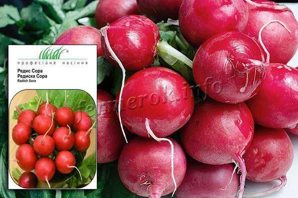Редис заря: описание с фото, посев и полив, выращивание и урожайность, а также болезни, причины популярности и похожие сорта