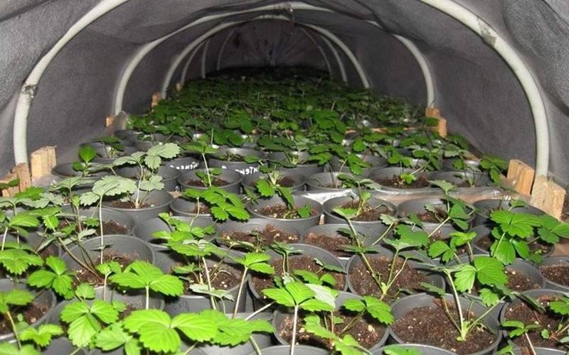 Агротехника выращивания клубники в открытом грунте: пошаговая инструкция, посадка и уход, выращивание и уход, нормы урожайности