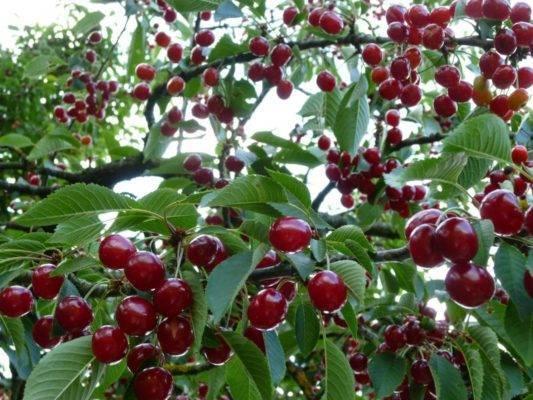 Подмосковная надёжная вишня молодёжная, которая плодоносит каждый год