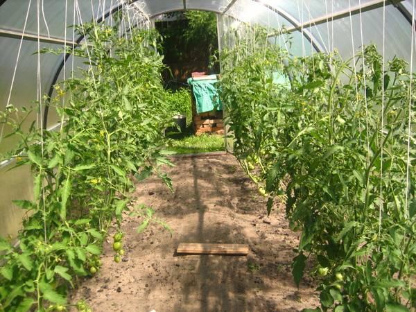 Схемы посадки помидор в теплице: фото и видео