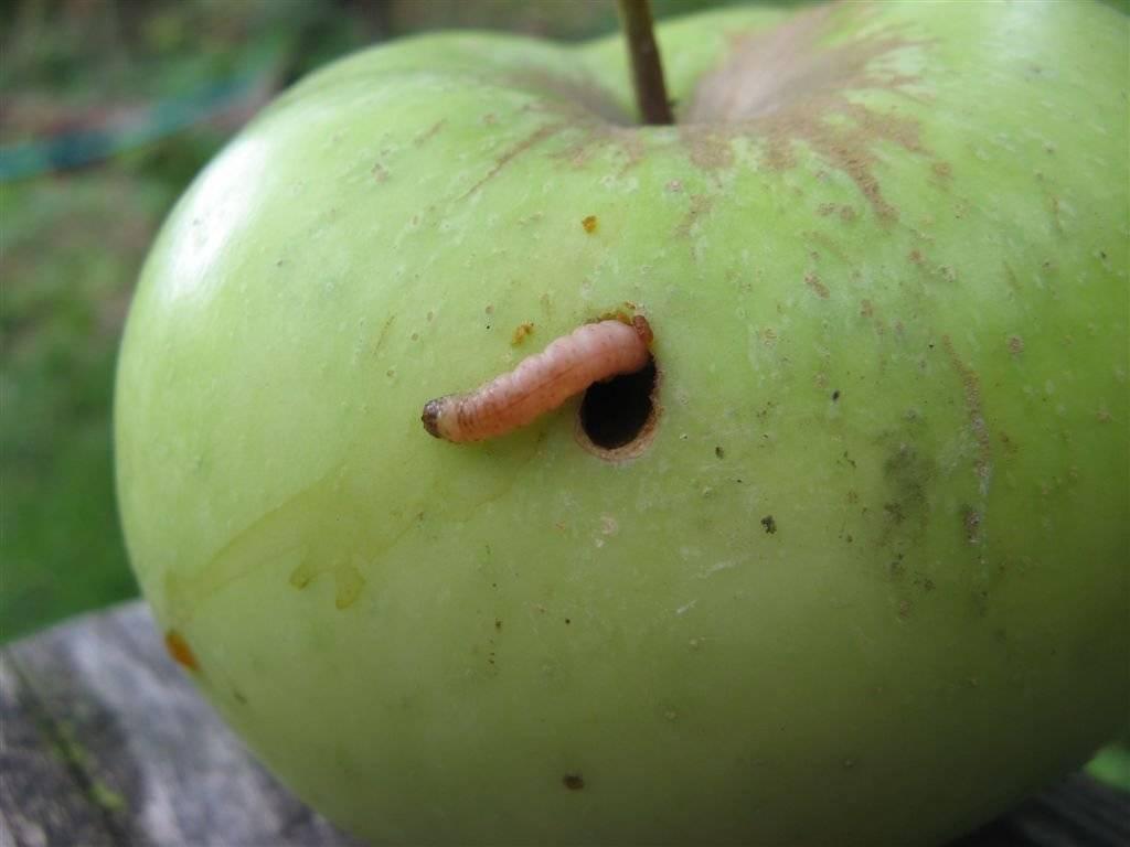 Яблоневая Плодожорка: как защитить яблони, как бороться народными средствами
