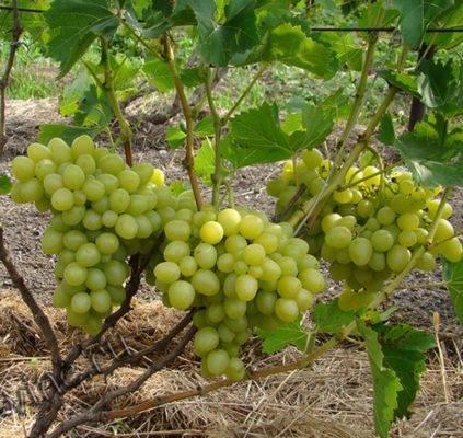 Сорт винограда надежда: описание и характеристики
