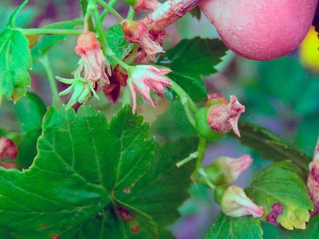 Как спасти смородину от почкового клеща: меры борьбы осенью