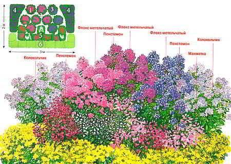 Все о флоксах: от выбора сорта до правил выращивания