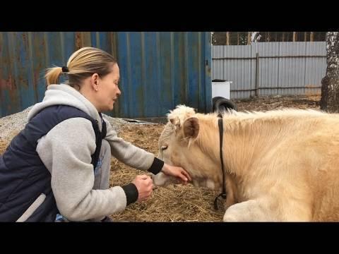 Корова потеряла жвачку что делать
