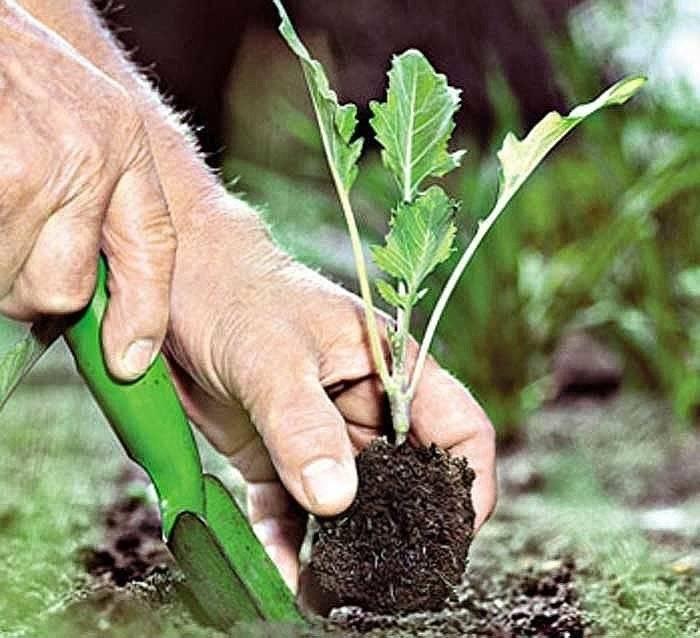 Капуста кольраби: выращивание и уход в открытом грунте
