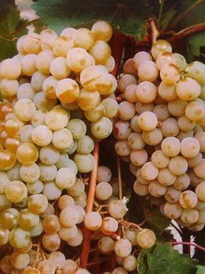 Виноград цитронный магарача — ягоды грибы