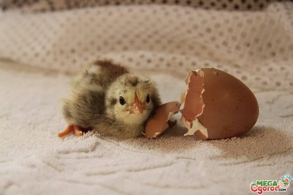 Сколько курица сидит на яйцах