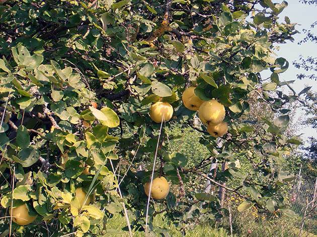 Осыпаются плоды айвы