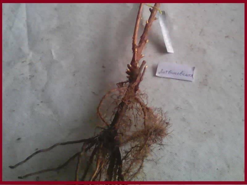 Смородина Литвиновская: описание и характеристики сорта, уход и выращивание