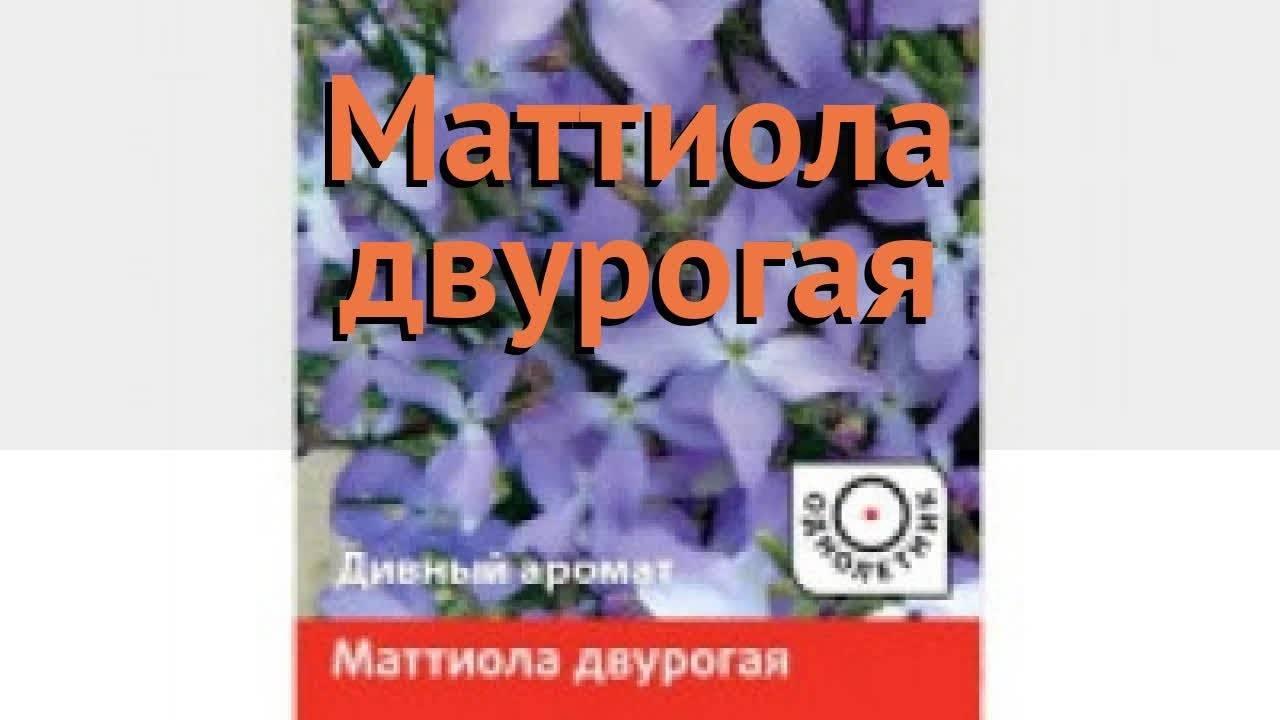 Маттиола: выращивание из семян, когда сажать