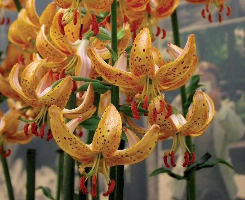 Подробные характеристики азиатских лилий